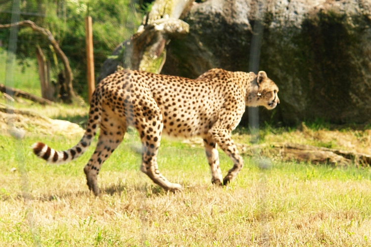Gepard im Wildpark Altenfelden